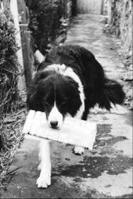 Old Tudor the border collie carrying a newspaper