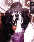 A border collie smoking a pipe