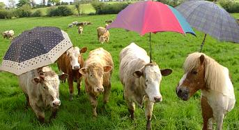 Some cows with umbrellas